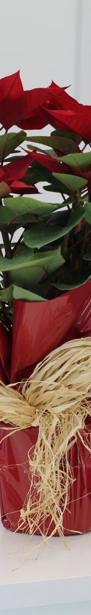 Utilizar rafia como decoración de tu flor de navidad